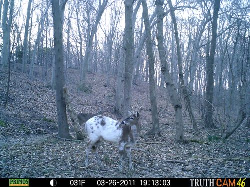 Day time half white buck 012