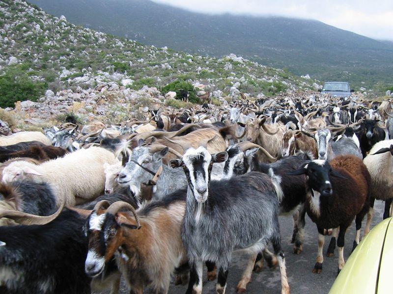 Herd_Of_Goats
