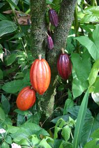 Cocoa_Pods