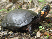 Bog-turtle-zarate_crop
