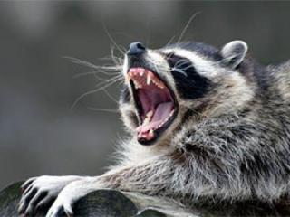 Rabid-raccoon