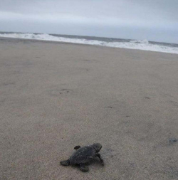 Hatchling-loggerhead-turtles-at-Fenwick-Island-State-Park