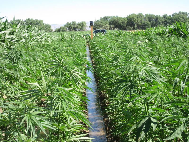Hemp_irrigation_Big