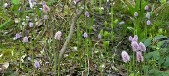 Swamp-Pink-Burden-Hill-730x330