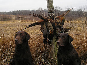 300px-Hunting_dogs_with_catch