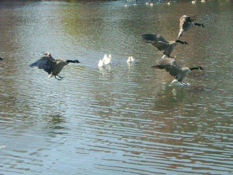 Geese landing, great shot, hey!